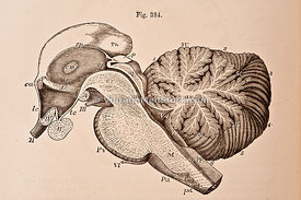 Right Half of the Encephalic Peduncle and Cerebellum