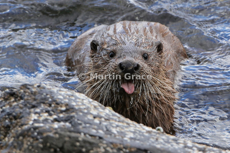 Otter (Lutra lutra), Loch na Keal, Isle of Mull, Scotland