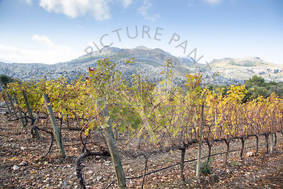 Vines in Autumn with Tramuntana Mountains in background