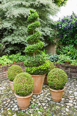 A group of clipped box shrubs in front of raised bed planted with epimediums and variegated cornus. Bosvigo, Truro, Cornwall, UK
