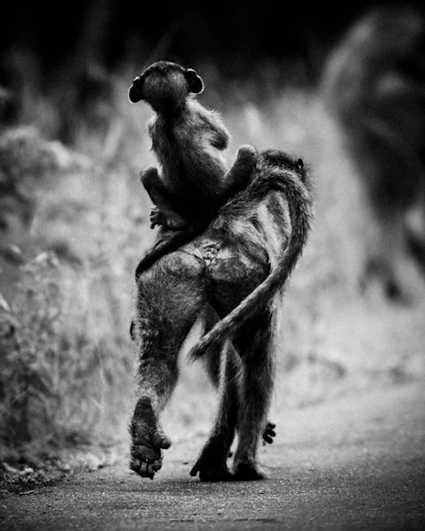 7508-Baby_baboon_on_the_mother_s_back_South_Africa_2008_Laurent_Baheux