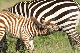 Zebra Nursing Closeup 4