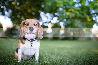 humorous dog with sly expression sitting in park grass