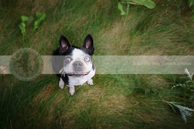 expressive boston terrier dog in grasses