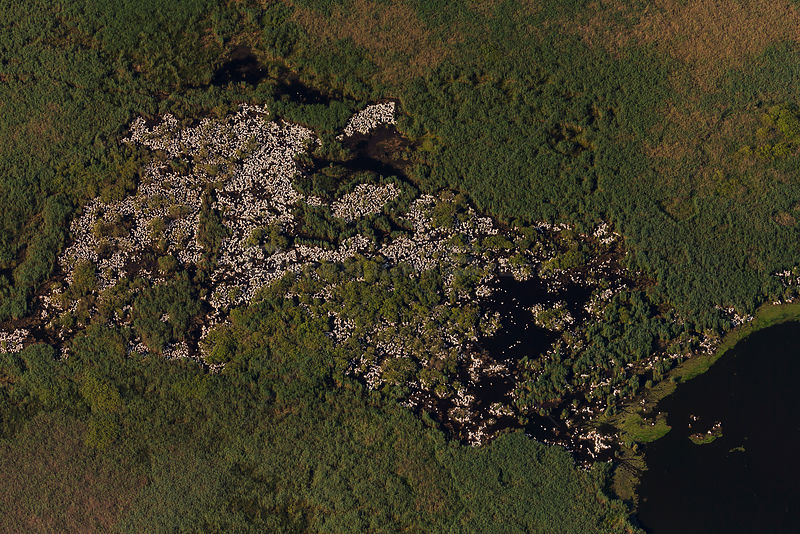 Great white pelicans (Pelecanus onocrotalus), aerial view of colony nesting on ground, Danube Delta, Romania