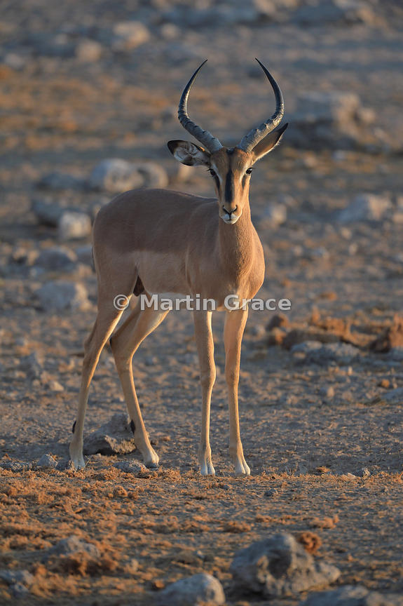 Male Black-Faced Impala (Aepyceros melampus petersi) caught in the golden light of the setting sun, Etosha National Park, Namibia