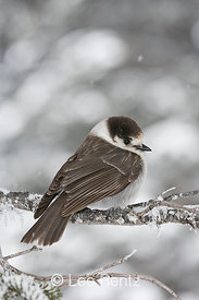 Gray Jay (Perisoreus canadensis) perched on a branch during a snowstorm on Hurricane Ridge, Olympic National Park, Olympic Peninsula, Washington, USA, March, 2009_WA_8088