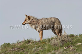summer_coyote_on_hill