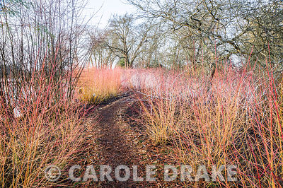 A mix of cornus and white stemmed rubus beside the lake in Seven Acres at RHS Wisley.