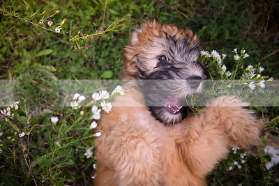 humorous tan puppy looking upward lying bellyup in flowers