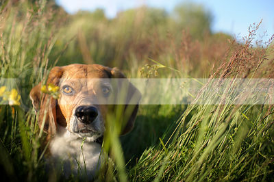 alert beagle dog staring hiding in summer meadow