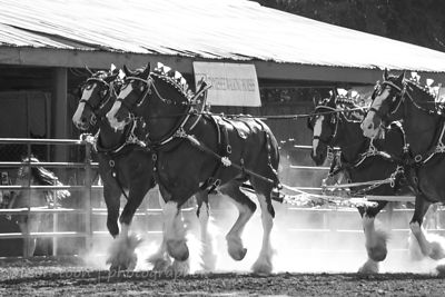 SACRAMENTO, 12 JULY 2013: Team of Clydesdale horses at the State Fair