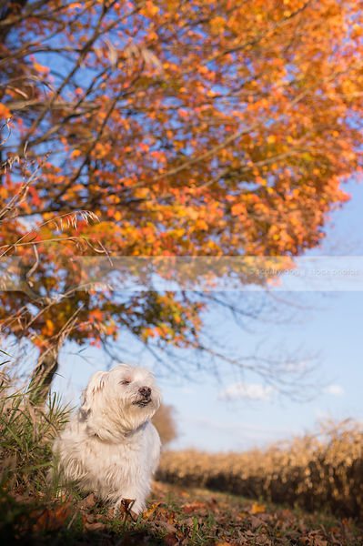 expressive small white dog standing in autumn setting with tree