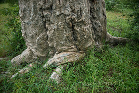 Trunk of a baobab tree