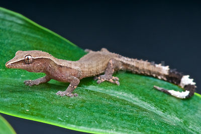 Clawless gecko  (Ebenavia inunguis) photos