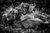 Brothers cubs, Kenya 2014 © Laurent Baheux
