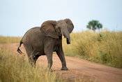 African elephant crossing the road, Loxodonta africana africana, Murchison Falls National Park, Uganda
