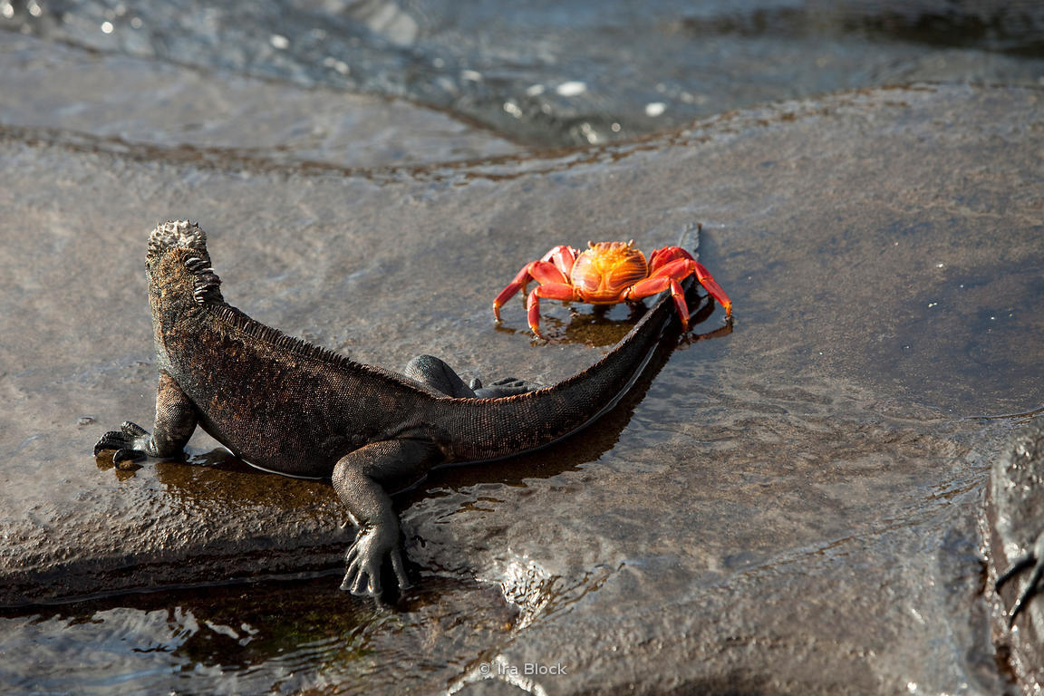 A marine iguana is greeted by a sally lightfoot crab on Santiago Island.