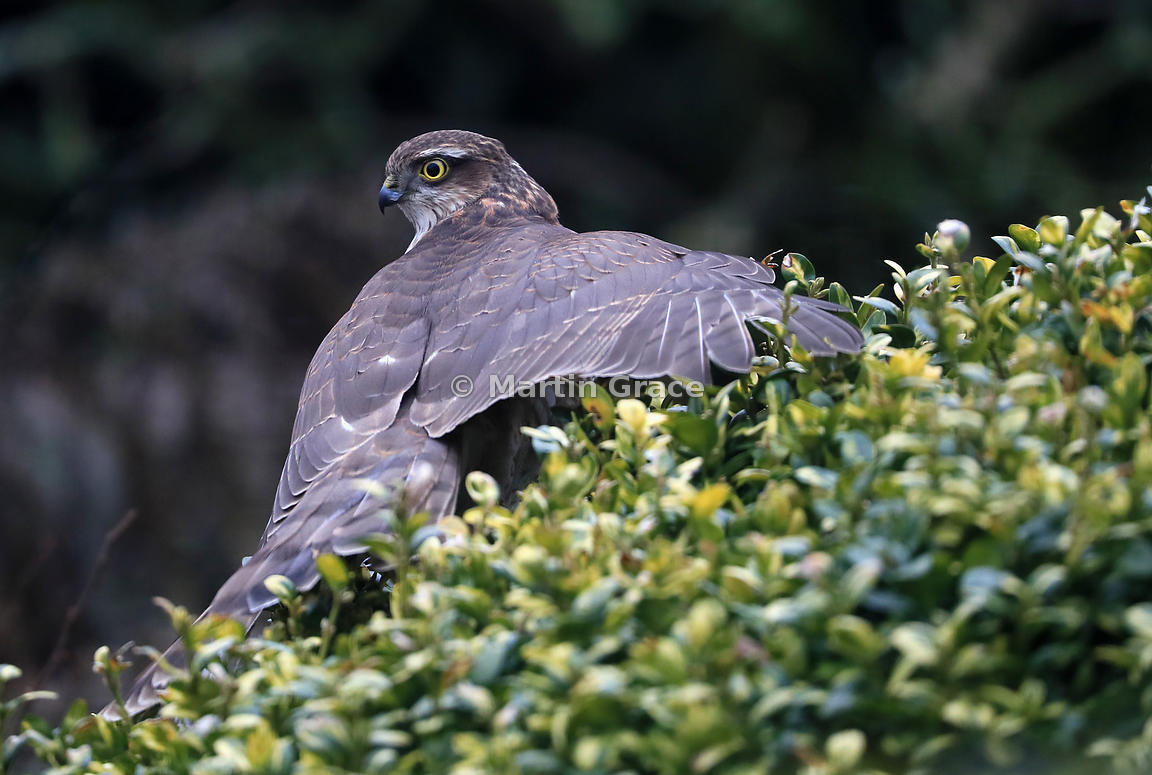 Eurasian Sparrowhawk (Accipiter nisus) in the top of a garden Box (Buxus sempervirens), Lake District National Park, Cumbria, England