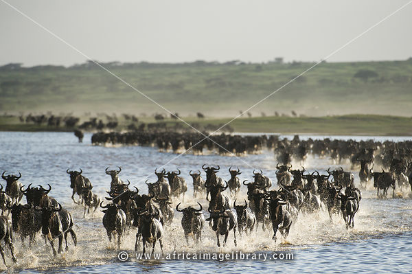 Wildebeest calving in Tanzania photos