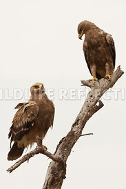 steppe_eagle_dual_branch_6