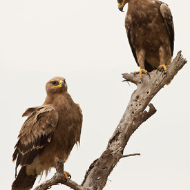 Steppe Eagle wildlife photos