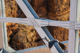 California Condor Flying from Navajo Bridge