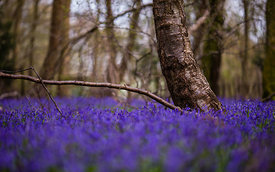 Bluebell_2016_April_049