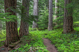 The Upper Dungeness Trail Through Woods in Olympic National Forest
