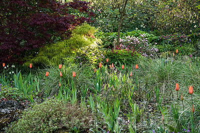 Orange tulips with new acer foliage behind. Summerdale House, Lupton, Cumbria, UK