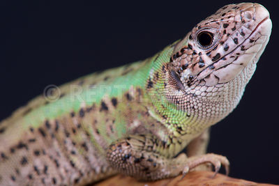 Iberian emerald lizard / Lacerta schreiberi photos