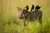 Warthog (Phacochoerus africanus) with piapiac on its back, Murchison Falls National Park, Uganda