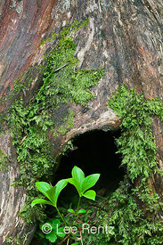 Hollow Tree in the Cascade Mountains