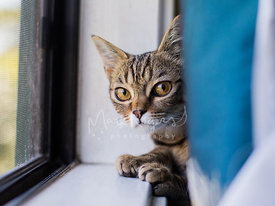 Small Tabby Cat with Large Yellow Eyes Peering From Behind Window Curtain