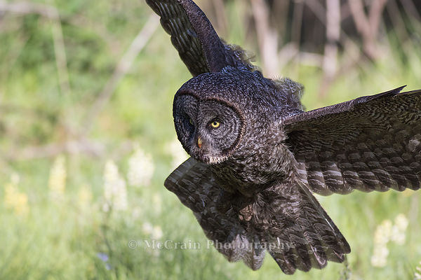 Great Gray Owls photos