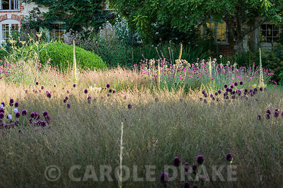 The Courtyard Garden designed by Piet Oudolf and John Coke features large areas of low grasses that mimic surrounding meadows, here dotted with deep crimson heads of  Allium sphaerocephalon. Bury Court Barn, Bentley, Hants, UK