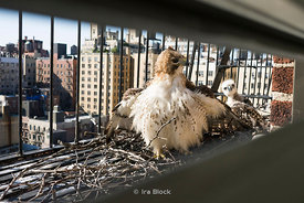 A Red Tail Hawk and her 6-7 week old fledgling at their nest on a fire escape on the Upper West Side of New York City.