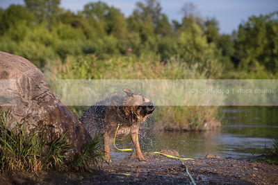 wet black and tan shepherd dog shaking water on river shore