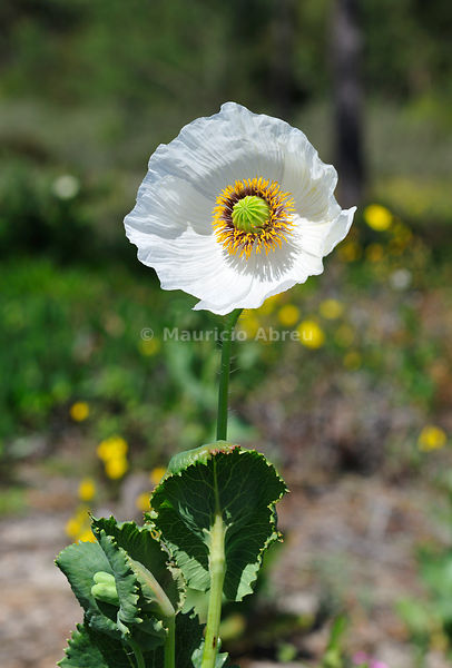White poppy in the Sado River Nature Estuary. Portugal