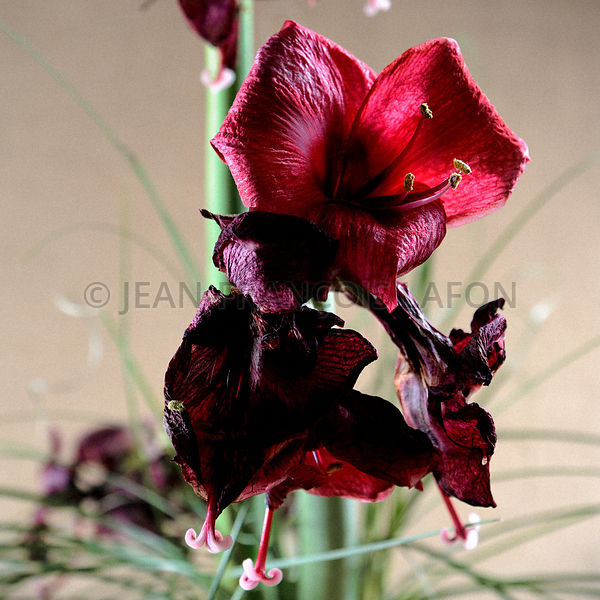 Amaryllis, dec 12