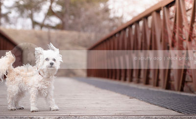cute windblown small white dog standing on steel and board bridge