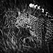 9978-Leopard_with_the_rolled_tail_Laurent_Baheux
