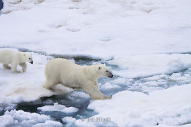 A polar bear cub follows the lead of the mother bear in crossing from ice floe to ice floe near Svalbard, Norway.