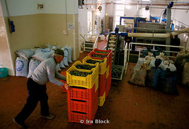 A worker loads crates of olives ready for pressing.