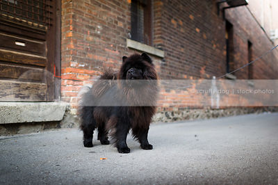 black chow dog standing at brick wall in urban alley