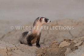 ferret_full_burrow_front-6