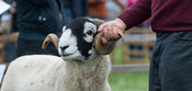 Muker swaledale sheep show, 2018, Yorkshire Dales National Park.