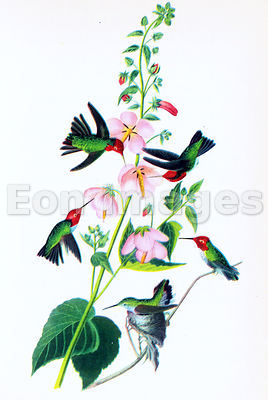 Audubon print Columbian Humming Bird
