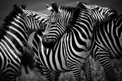 5053-Big_hugs_between_zebras_Laurent_Baheux