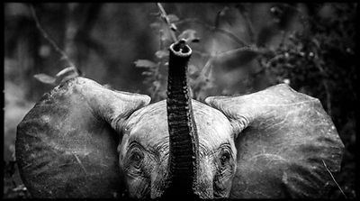 3179-Baby_elephant_South_Africa_2008_Laurent_Baheux